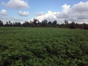 gumlog-plantation